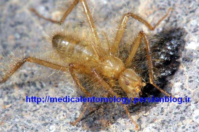 جنس نر گونه Mormotomyia hirsuta