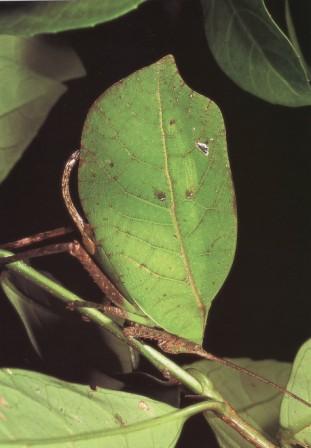 female of CYCLOPTERA