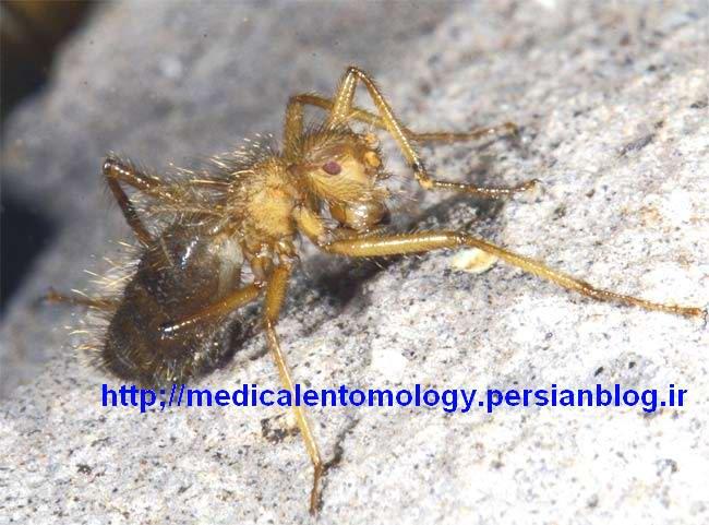 ماده Mormotomyia hirsuta
