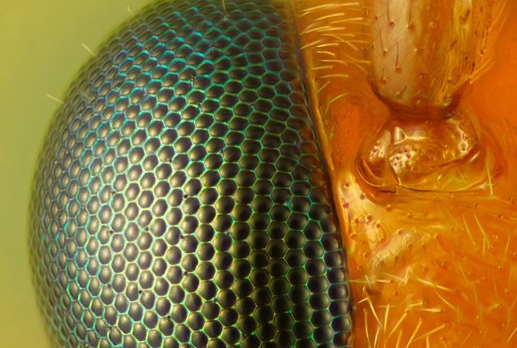 عکس تهیه شده از زنبورهای ایکنیومونید